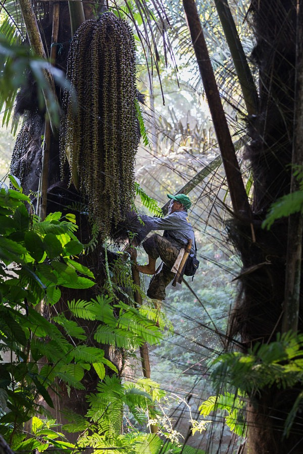 | Jusuf Wungow harvests on a palmtree for Masarang cooperative in Indonesia.